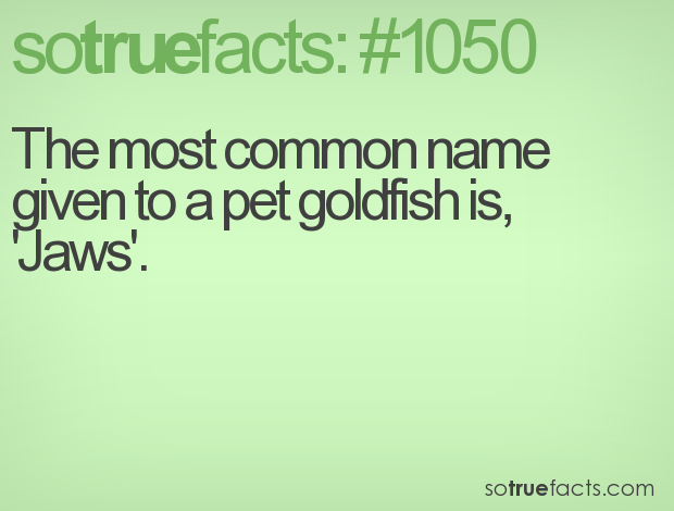 The most common name given to a pet goldfish is, 'Jaws'.