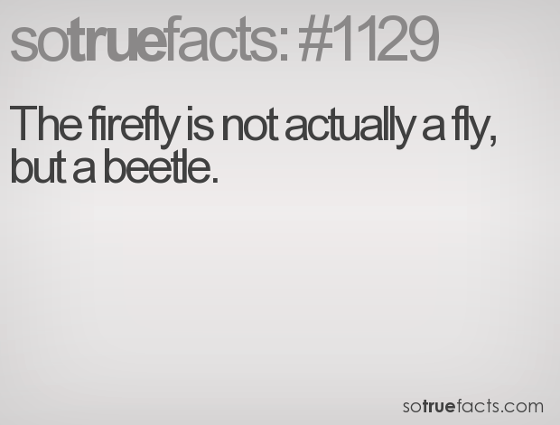 The firefly is not actually a fly, but a beetle.