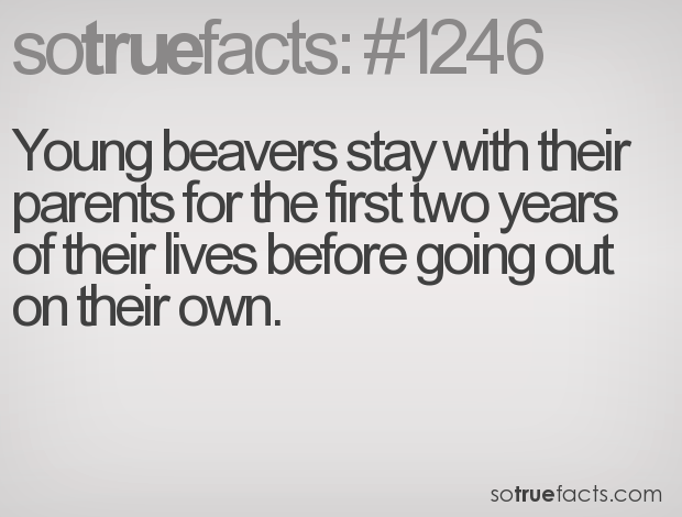 Young beavers stay with their parents for the first two years of their lives before going out on their own.