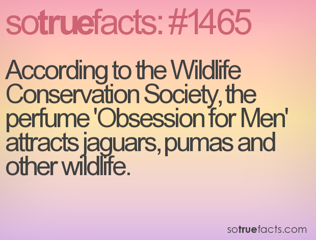 According to the Wildlife Conservation Society, the perfume 'Obsession for Men'  attracts jaguars, pumas and other wildlife.