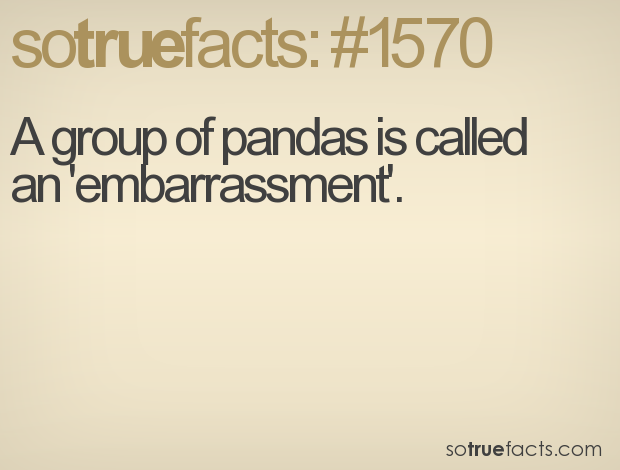 A group of pandas is called an 'embarrassment'.