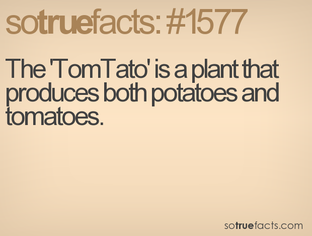The 'TomTato' is a plant that produces both potatoes and tomatoes.