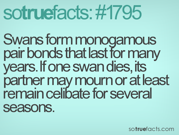 Swans form monogamous pair bonds that last for many years. If one swan dies, its partner may mourn or at least remain celibate for several seasons.