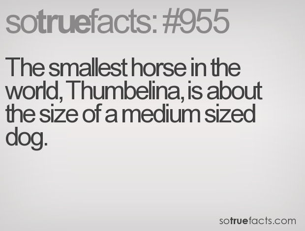 The smallest horse in the world, Thumbelina, is about the size of a medium sized dog.